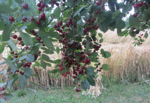 Cherries on Duvnjak Farm