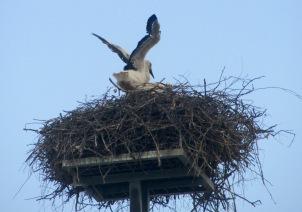 Dakovo Stork